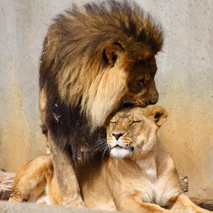 Löwe und löwin liebe