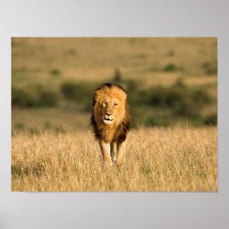 Männliches Löwe-Gehen Poster