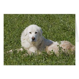 Maremma Schäferhund in der Weide tritt als ein Karte