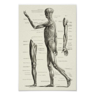 Menschliche Anatomie, Muskeln des menschlichen Poster