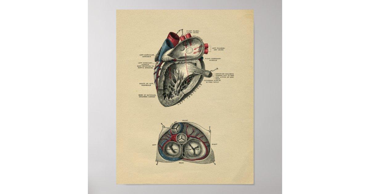Menschliche Herz-Anatomie 1902 Vintager Druck Poster | Zazzle.at