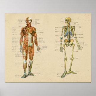Menschliche Muskel Skelton Anatomie-Vintages Poster