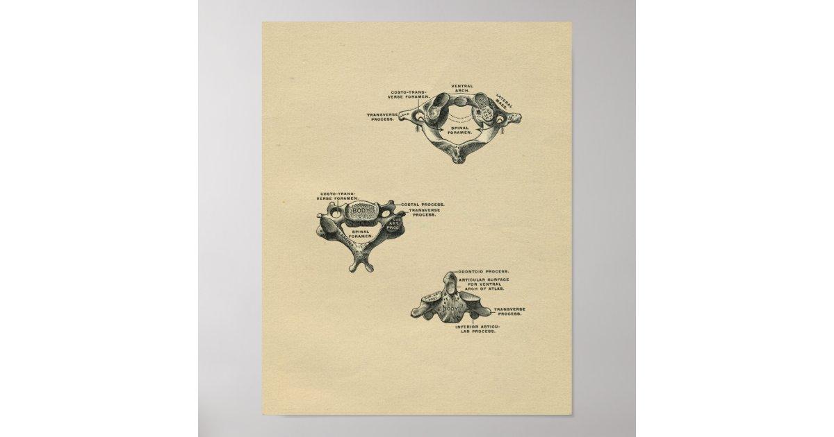 Menschliche Wirbel-Anatomie 1902 Vintager Druck Poster   Zazzle.at