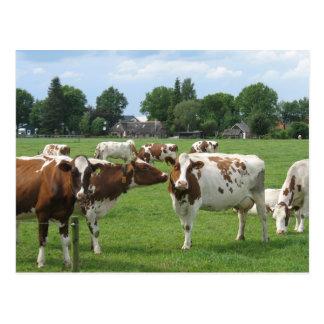 Milchkühe, die Sie Postkarte betrachten