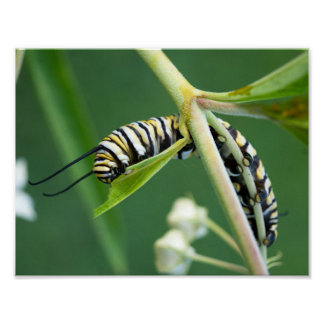 Monarch-Raupe auf Milkweed Poster