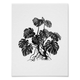 Monstera Deliciosa/Philodendron Pertusum Plakat