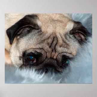 Mops Pug ~ Foto Jean-Louis Glineur Poster