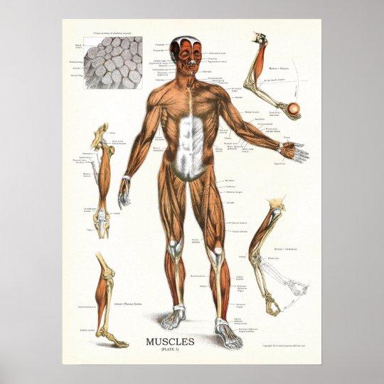 Muskel-Anatomie-anatomisches Diagramm Poster | Zazzle.at