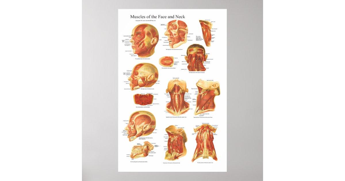 Muskel-Anatomie des Gesichts-und Hals-Diagramms Poster | Zazzle.at