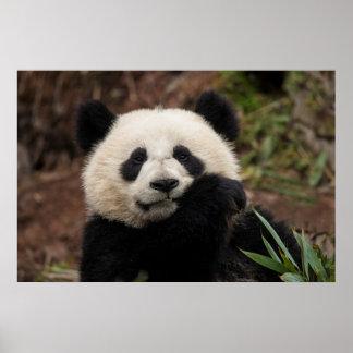 Nah oben vom Panda-Essen Poster