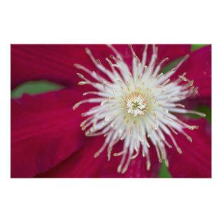 Nahaufnahme einer rot-violetten Clematis-Blume Fotografien