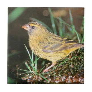 Nahaufnahme eines Waldkanarienvogels (Serinus Fliese