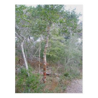 Naturlehrpfad der Stechpalmen-Baumrinde-OBX Buxton Postkarte