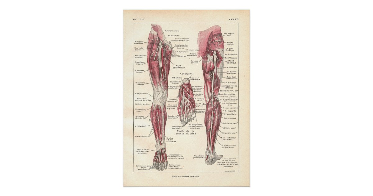 nerven des bein anatomie plakats auf franz sisch poster zazzle. Black Bedroom Furniture Sets. Home Design Ideas