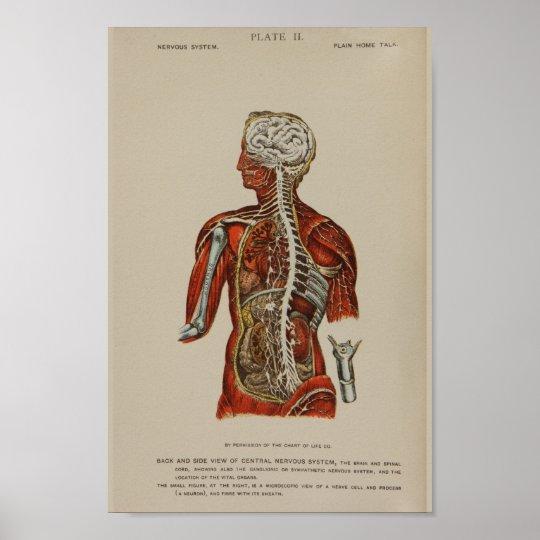 Nervensystem-Rückenmark-Nerven-Anatomie-Druck Poster   Zazzle.at