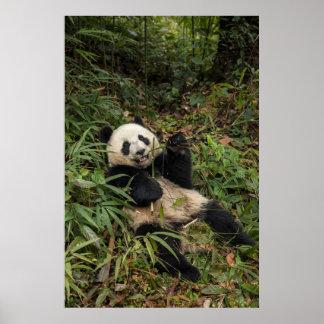 Niedlicher Panda, der Bambus isst Poster