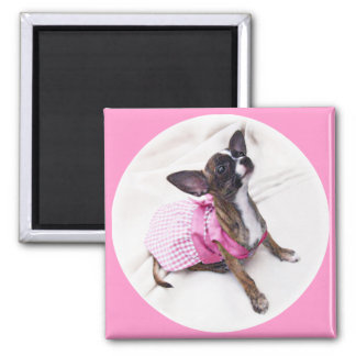 Niedliches gekleidetes oben Chihuahua-Mädchen Quadratischer Magnet