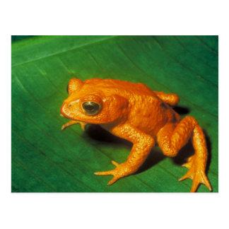 Orange Frosch Postkarte