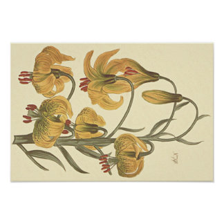 Orange Pompone Lilien-botanische Illustration Poster