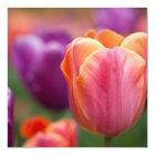 Orange und rosa späte Tulpe Karte