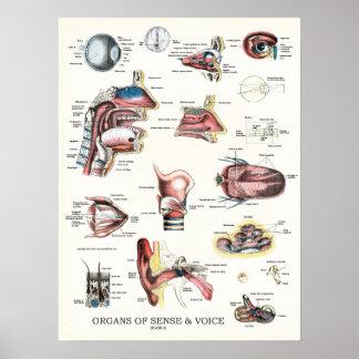 Organe von Richtungs-und Sprachanatomie-Plakat 18 Poster