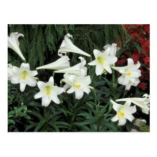 Osterlilie (Lilium regale) Postkarte