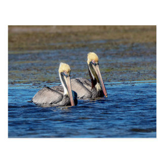 Paare Pelikane Postkarte