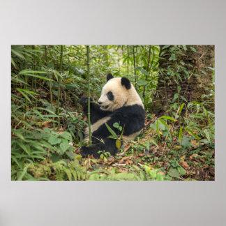 Panda, der Bambus isst Poster