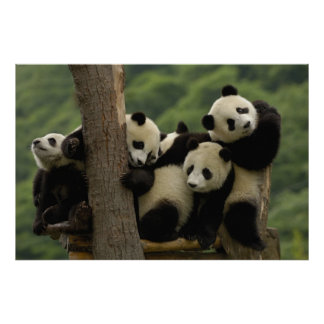 Pandababys Ailuropoda melanoleuca) 4 Poster