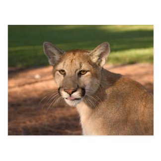 Panther USA, Florida (Felis concolor) ist auch Postkarte