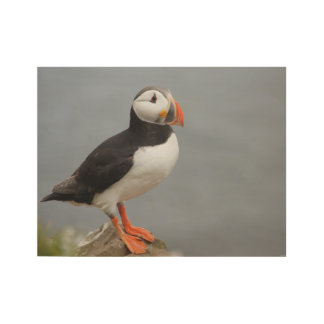 Papageientaucher-Vogel-Antarktis-Natur Holzposter