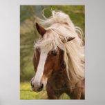 Pferde, die in der Wiese, Cades Bucht, groß weiden Plakate