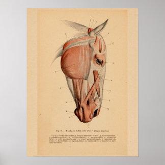 Pferdekopf-Muskel-Anatomie-französischer Vintager Poster