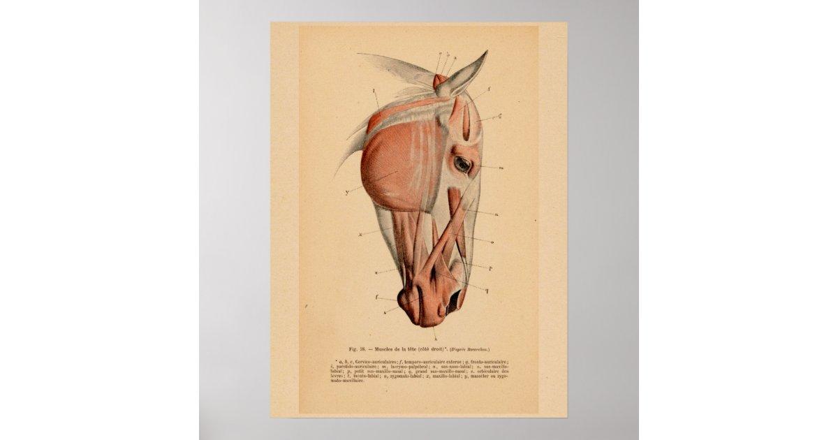 Pferdekopf-Muskel-Anatomie-französischer Vintager Poster | Zazzle.at