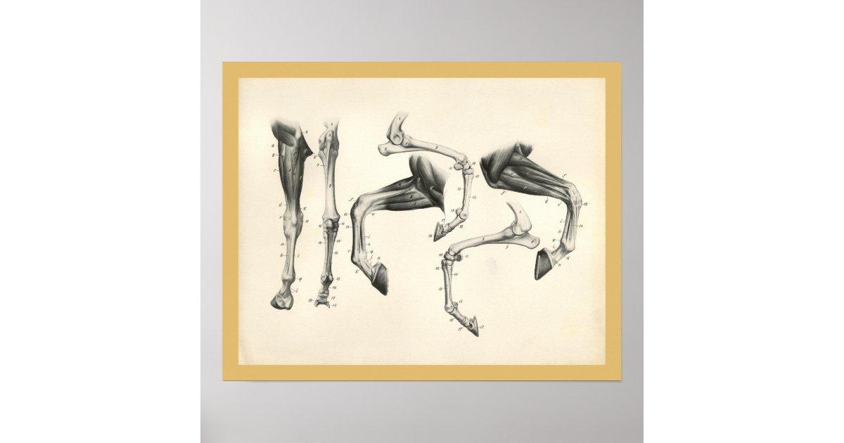 Pferdeveterinärbein-Knochen-Muskel-Anatomie-Druck Poster | Zazzle.at