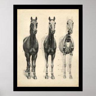 PferdeveterinärSkelettmuskel-Anatomie-Druck Poster