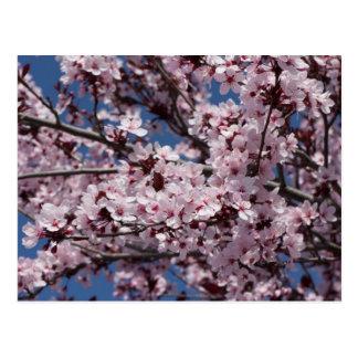 Pflaumen-Blüten Postkarte