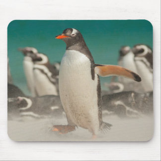 Pinguingruppe auf Strand, Falkland Mousepad
