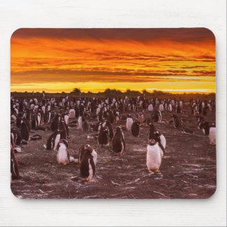 Pinguinkolonie am Sonnenuntergang, Falkland Mauspad