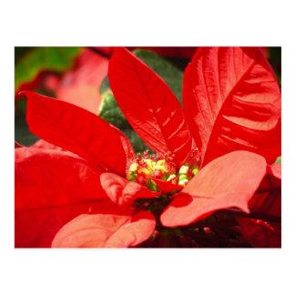 Poinsettia Postkarte