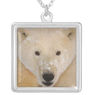 polarer Bär, Ursus maritimus, nah oben von einem Versilberte Kette