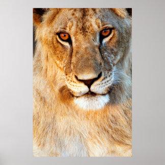 Porträt der Löwin-(Panthera Löwe). Tarangire Poster