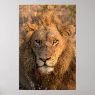 Porträt eines männlichen Löwes Poster