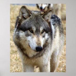 Porträt eines Wolfs Poster