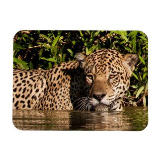 Porträt von schwimmenden Jaguar Magnet