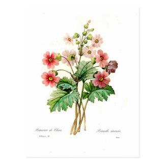 Primula sinensis postkarte