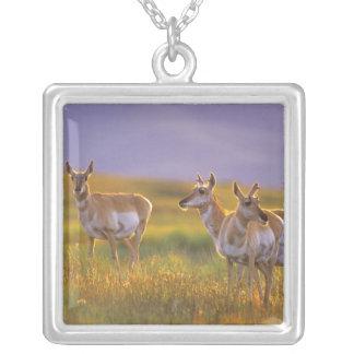 Pronghorn Antilope in Montana Versilberte Kette