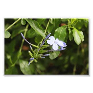Purpled Blume Photographischer Druck