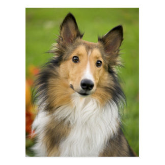 Rauer Collie, Hund, Tier Postkarte