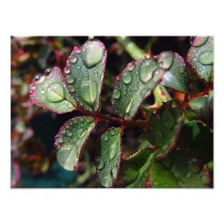 Regentropfen auf Rosenbaum-Blätter Fotodruck